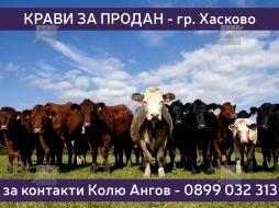 KPD.BG - Крави за продан град Хасково